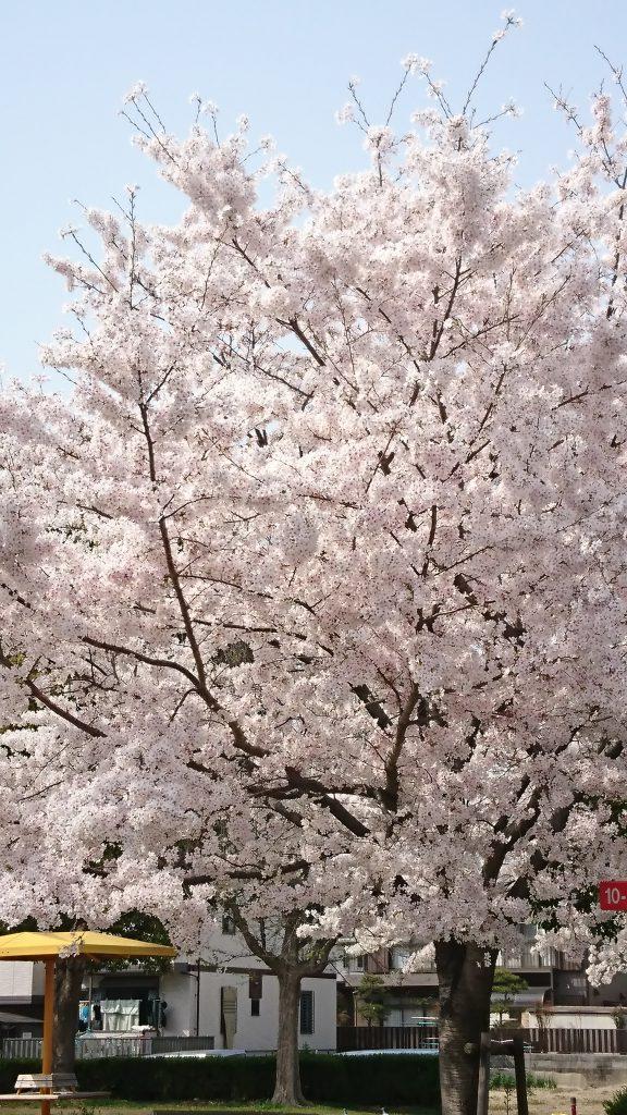 荻原桜 中川区 高畑駅から偕行会へ歩く途中_0043