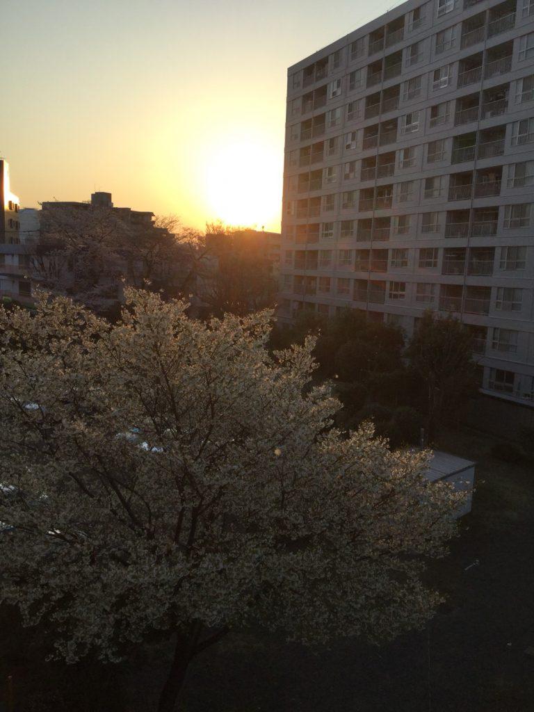 内藤_桜③