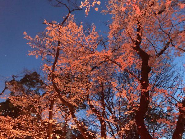 星野 夜桜_1340