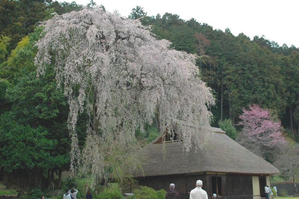 高麗家住宅(樹齢400年しだれ桜).JPG
